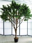 Olivovník mamutí 250cm