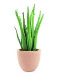Aloe vera 63 cm