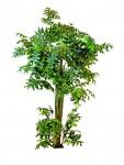 Rybí ocas - palmový strom 305 cm