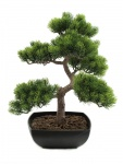 Bonsai borovice 50 cm