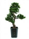 Bonsai podocarpus 80cm