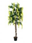 Vistárie strom žlutá 150 cm