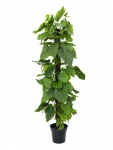 Pothos Plant 180 cm