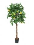 Citronovník 150 cm