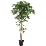 Ficus longifolia, 165cm