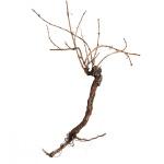 Vinná réva 150 cm