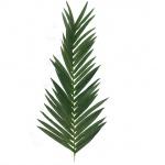 List kokosové palmy 150 cm