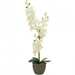 Orchidej se smetanovými květy 80 cm