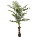 Kentia palma výška 240cm