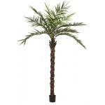 Kentia palma deluxe 300cm